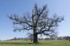 Old, secular common oak tree. In a Transylvanian pasture Royalty Free Stock Photos