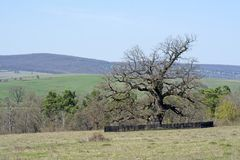 Old, secular common oak tree. In a Transylvanian pasture Royalty Free Stock Photography