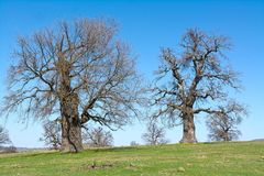 Old, secular common oak trees. In a Transylvanian pasture Royalty Free Stock Photography