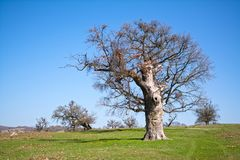 Old, secular common oak trees. In a Transylvanian pasture Royalty Free Stock Photo