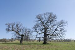 Old, secular common oak trees. In a Transylvanian pasture Royalty Free Stock Image