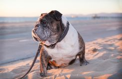 Elderly bulldog sitting on the sandy beach. An old senior bulldog is sitting on the beach looking out to the ocean.  He is wearing a collar tethered to a  leash Royalty Free Stock Photography