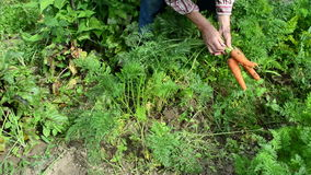Old senior woman grey head garden harvest ecologic carrots stock footage