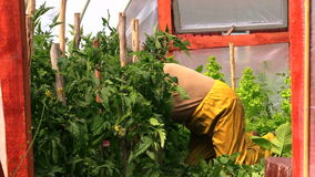 Old senior woman on her knees care tomato plants in greenhouse stock video
