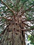 Old sequoia on the coast of the Black Sea of Crimea Stock Photo