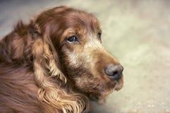 Old setter dog Stock Images