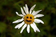 Old shabby camomile flower with funny smile Stock Photos