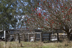 Old shack in a paddock with red flowering tree Stock Photo