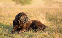 Old shar pei dog resting in field Stock Photography