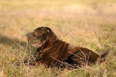 Old shar pei dog resting in field Royalty Free Stock Image