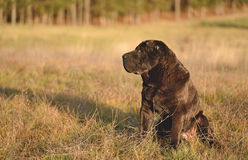 Old shar pei dog resting in field Stock Photo