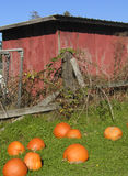 Old Shed and Pumpkins. An old farm shed surrounded by blackberry vines and a crumbling fence, with pumpkins lying in the grass in the foreground Royalty Free Stock Images