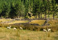 Old Sheep Holdings Stock Images