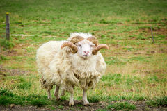 Old sheep in a meadow, Iceland Royalty Free Stock Photography