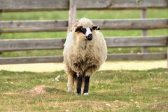 Old sheep standing on farm yard Stock Photography