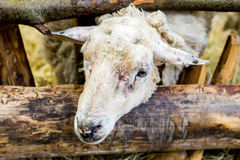 Old sheep. In wooden paddock Stock Photo