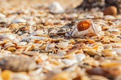 Old shell Rapana Royalty Free Stock Image