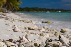 Old shell on sandy coral beach, Saona Stock Photography