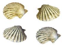 Old Shells on white Stock Photos