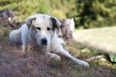 Old sheperd dog posing Royalty Free Stock Photos