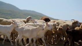 Old shepherd herding large flock of sheep and stock video