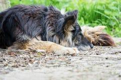 Old shepherd. Old long hair sheperd sleeping Stock Photography