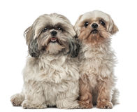 Old Shih Tzu, 14.5 years old, and Shih Tzu Stock Photography