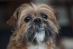 Old Shih Tzu Dog Portrait. A powerful portrait of a old Shih Tzu dog stock image