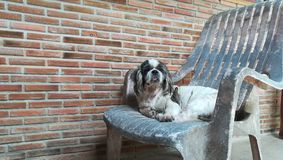 Old shih tzu dog sit on white chair. A dog of a breed with long, silky, erect hair and short legs stock photos