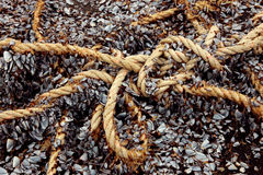 Old ship rope studded with young mussels Royalty Free Stock Photography