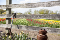 Old Shovel and Tulip field. A old rusty shovel and milk barrel outside the fence of a tulip farm in spring Royalty Free Stock Photos