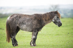 Old sick pony. Old pony sick pony with long coat and bad leg conformation Stock Image