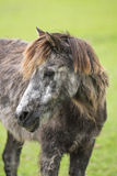 Old sick pony. Portrait of an old sick pony with long coat Royalty Free Stock Images