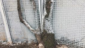 Old sick tree growing through the fence stock video