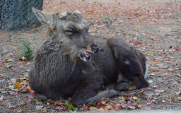 Old Sika Deer at Nara Royalty Free Stock Photo