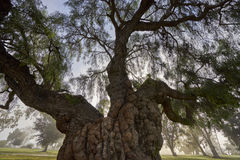 Old silent tree in the park. One of my favorite old-timers in Balboa Park stock photography