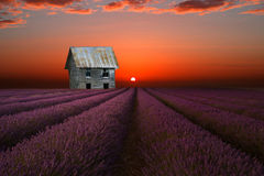 Old silver barn  and the lavender field. Derelict barn  under sunset sky  and lavender field Royalty Free Stock Photo