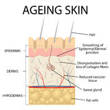 Old skin anatomy. Royalty Free Stock Photography