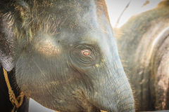 Old and skinny elephant is chained and look very pitiful. Royalty Free Stock Images