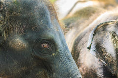 Old and skinny elephant is chained and look very pitiful. Stock Photos