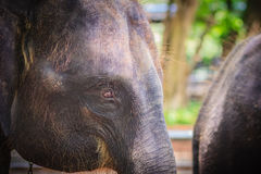 Old and skinny elephant is chained and look very pitiful. Royalty Free Stock Photos