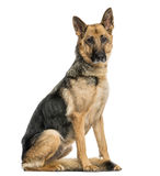 Old skinny German Shepherd dog sitting, looking at the camera. Isolated on white Stock Images
