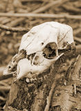 An Old Skul. An Old Rotting Skull of an animal Stock Photo