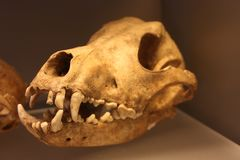 Old skull of a canine animal. Awe vintage pic stock photos
