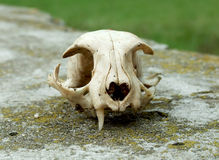 Old skull of cat Royalty Free Stock Photo