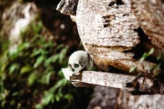 Old skull laying near wooden coffin. Hanging coffins, graves. Traditional burials site, cemetery Kete Kesu in Rantepao, Tana Toraj Royalty Free Stock Photography
