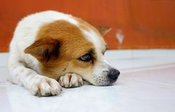 Old smal whire and brown dog waiting for owner at the door. Concept of animal sad emotion Stock Image