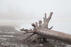 Old snag on a deserted foggy winter beach Royalty Free Stock Photo