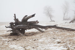 Old snag on a deserted foggy winter beach Royalty Free Stock Image