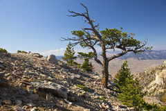 Old Snag on Heart Mountain Royalty Free Stock Image